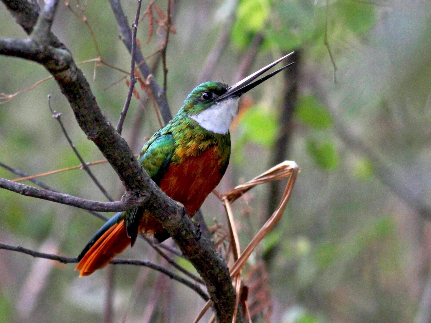 Rufous-tailed Jacamar - Jay McGowan