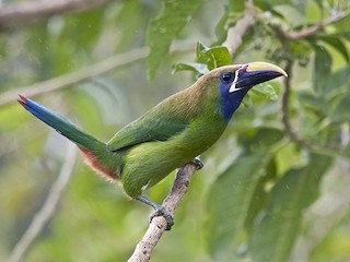 - Northern Emerald-Toucanet (Blue-throated)