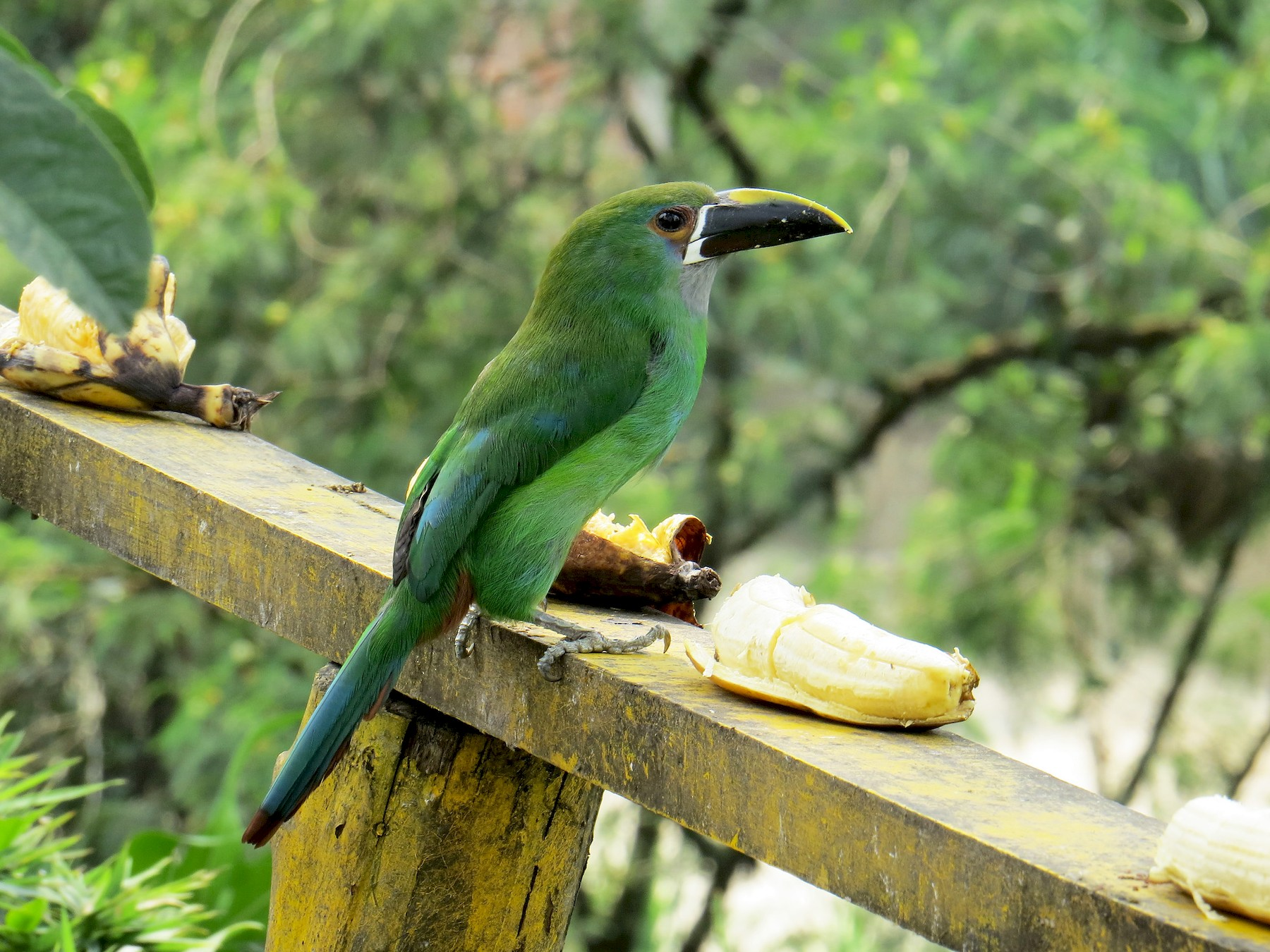 Southern Emerald-Toucanet - Kevin Groeneweg