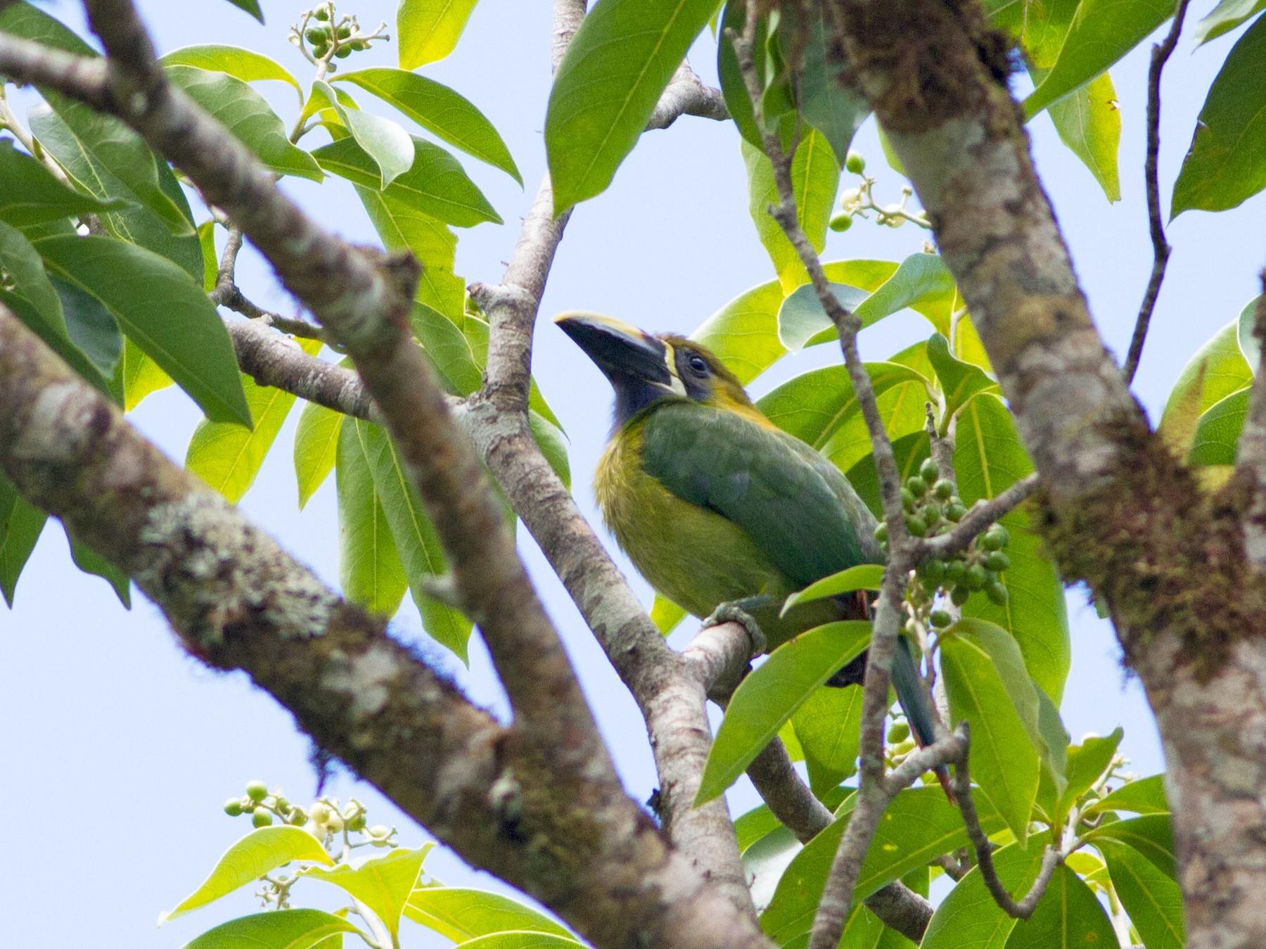 Northern Emerald-Toucanet - Lucas Bobay