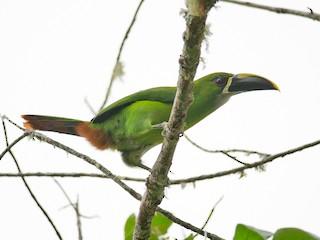 - Southern Emerald-Toucanet (Santa Marta)