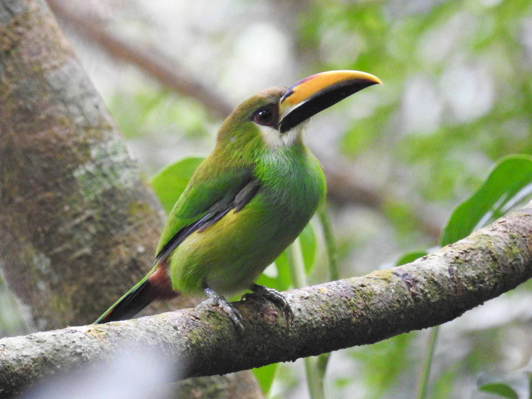 Northern Emerald-Toucanet - Alan  Monroy-Ojeda