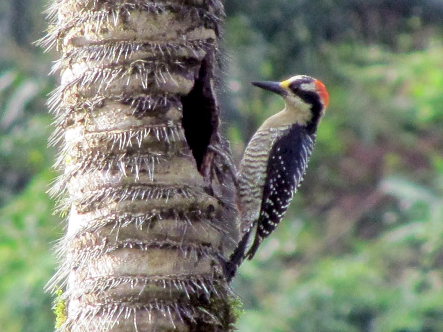 Black-cheeked Woodpecker - Jose Martinez De Valdenebro