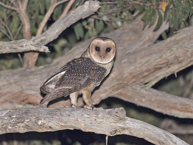 Australian Masked-Owl