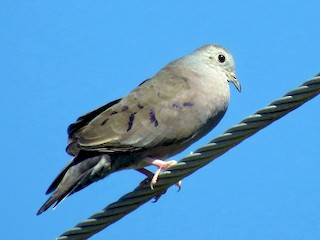 - Plain-breasted Ground Dove