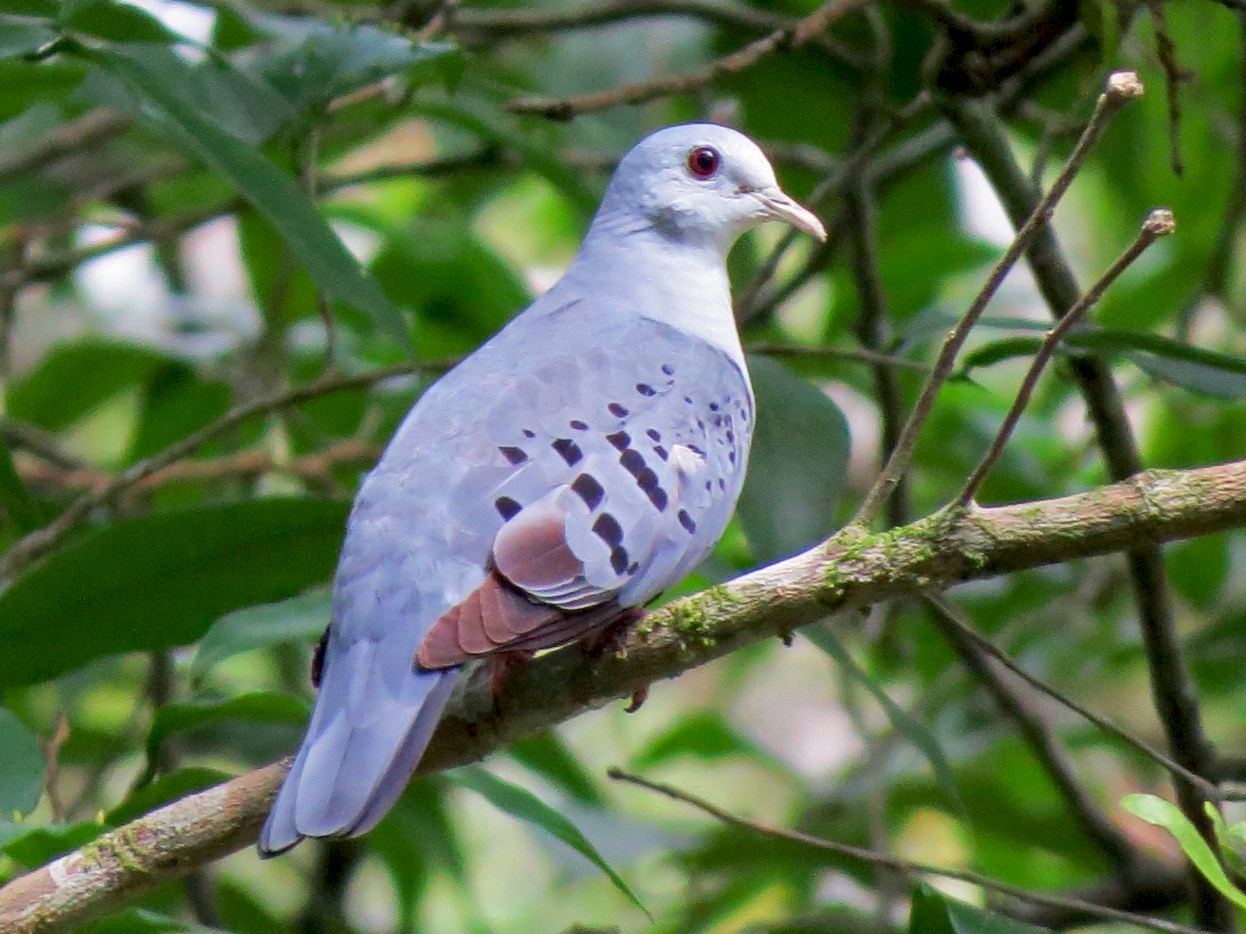 Blue Ground Dove - Dallas Levey