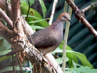 - Gray-chested Dove