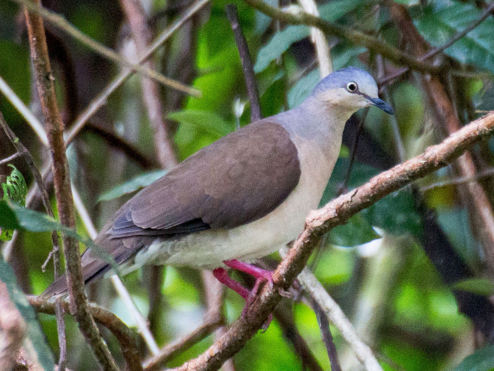 Gray-headed Dove - Francis Canto Jr