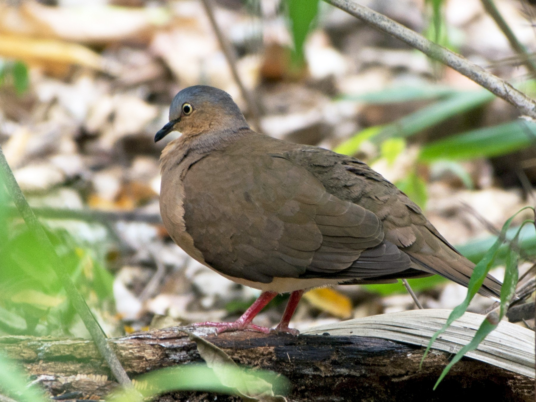 Gray-headed Dove - Jonatan David Suruy Medrano