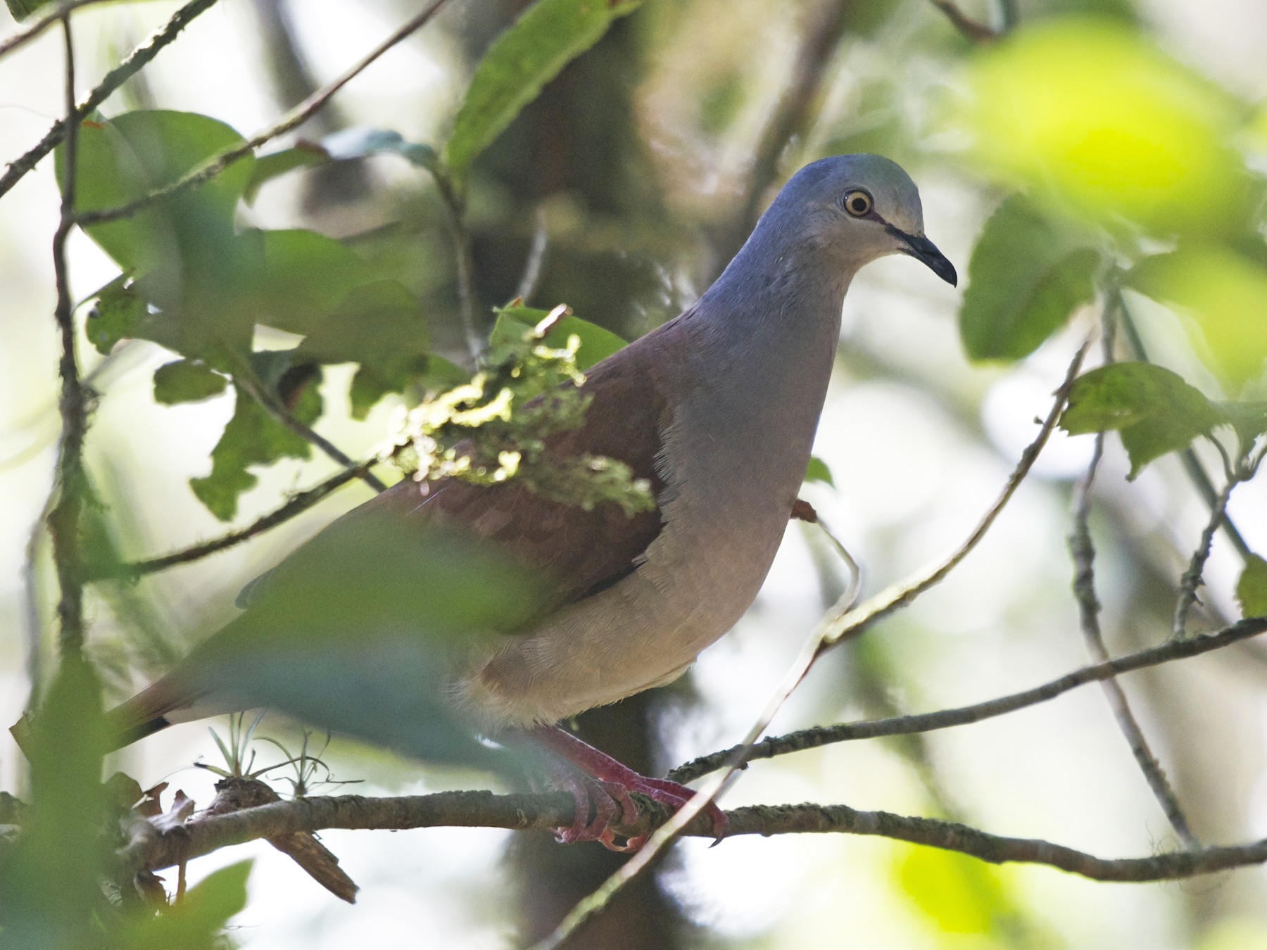 Gray-headed Dove - Jan Cubilla