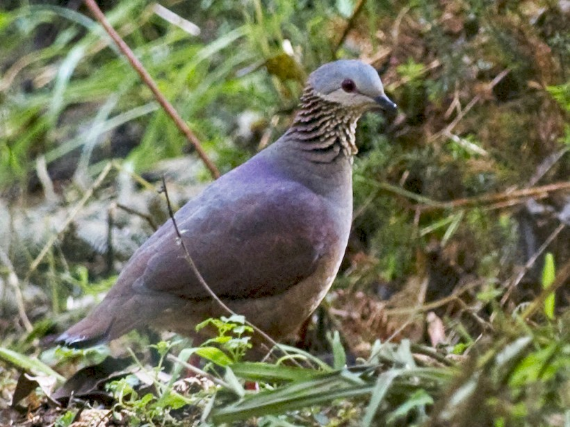 White-faced Quail-Dove - John Cahill xikanel.com