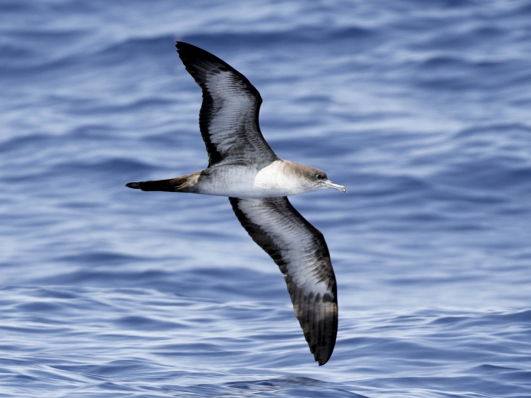 Wedge-tailed Shearwater - Brian Sullivan