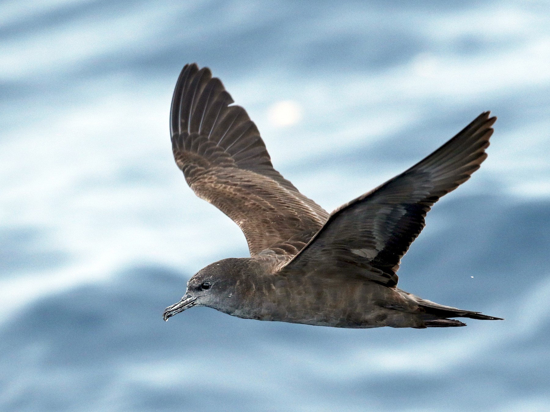 Wedge-tailed Shearwater - Luke Seitz
