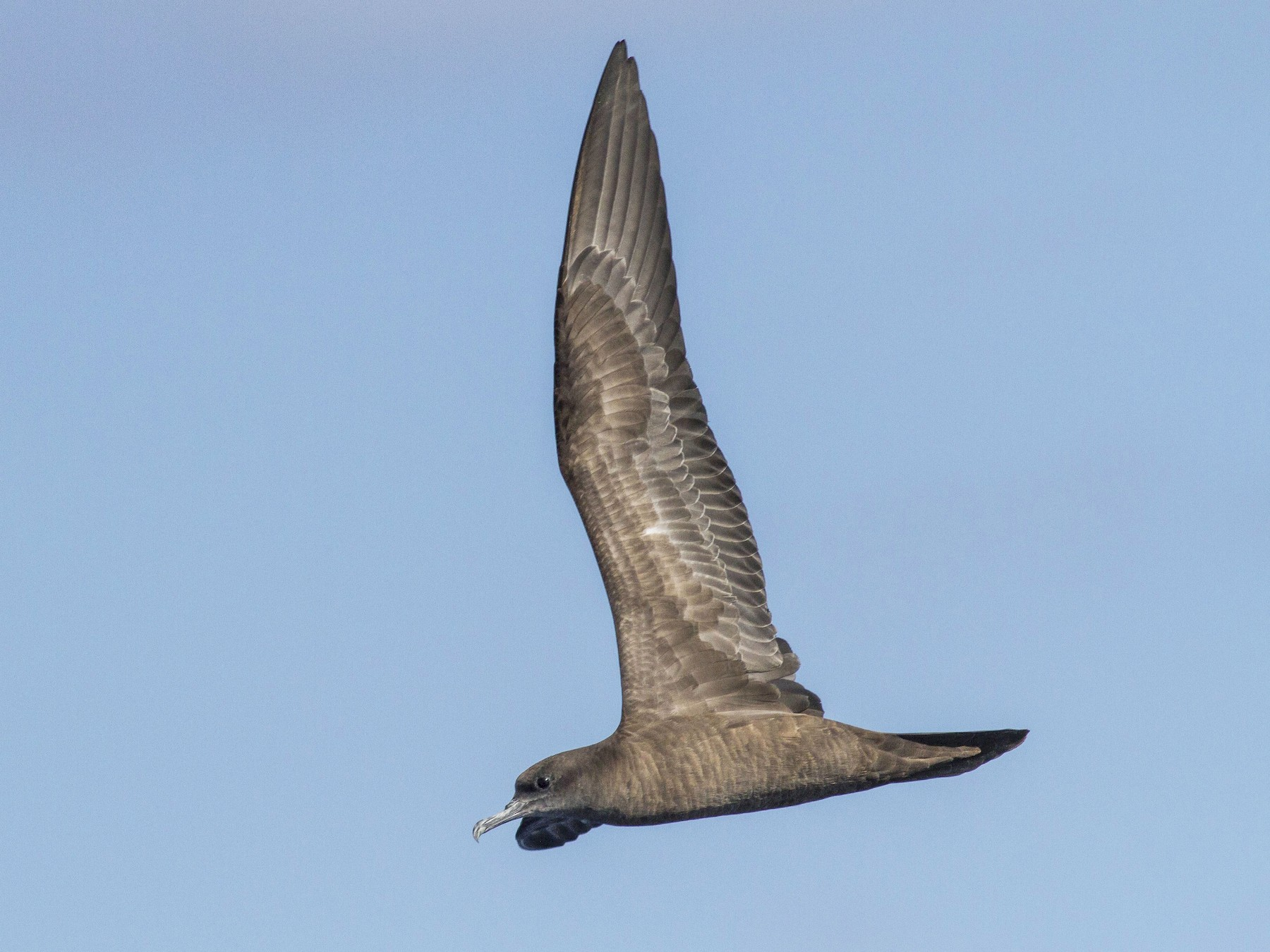 Wedge-tailed Shearwater - Jacob Drucker