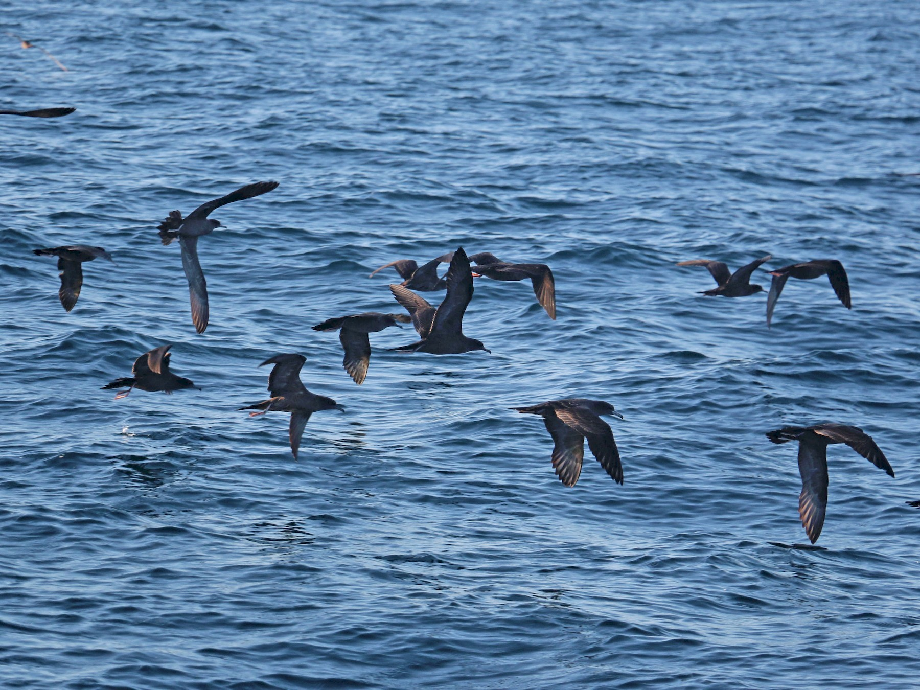 Wedge-tailed Shearwater - Birding Aboard