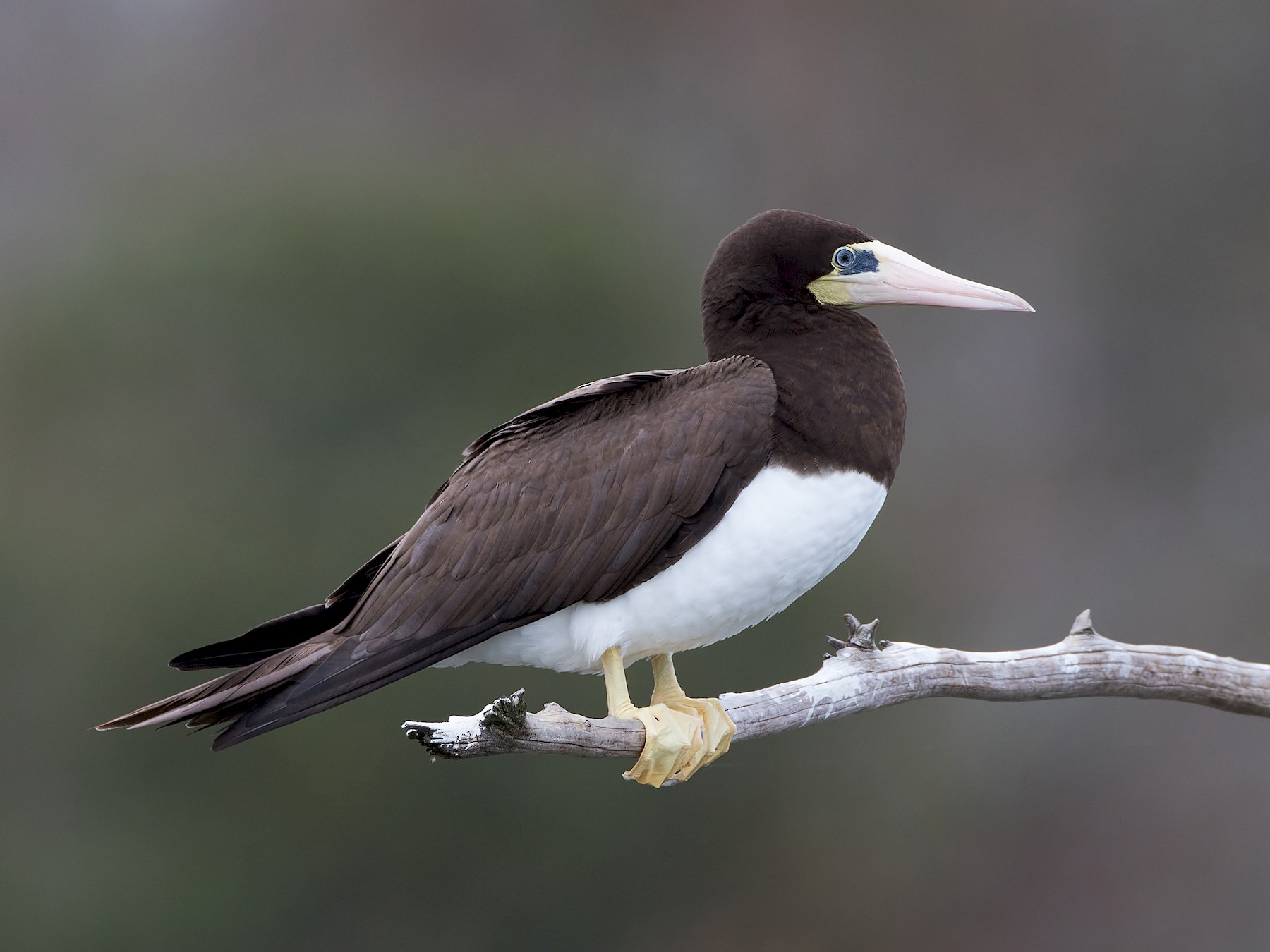 Brown Booby - Bill Adams