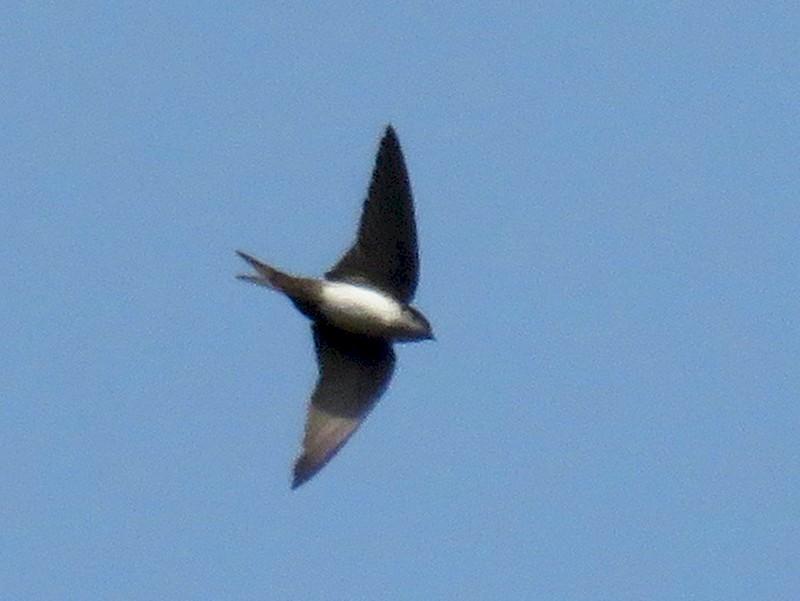 Black-capped Swallow - John van Dort