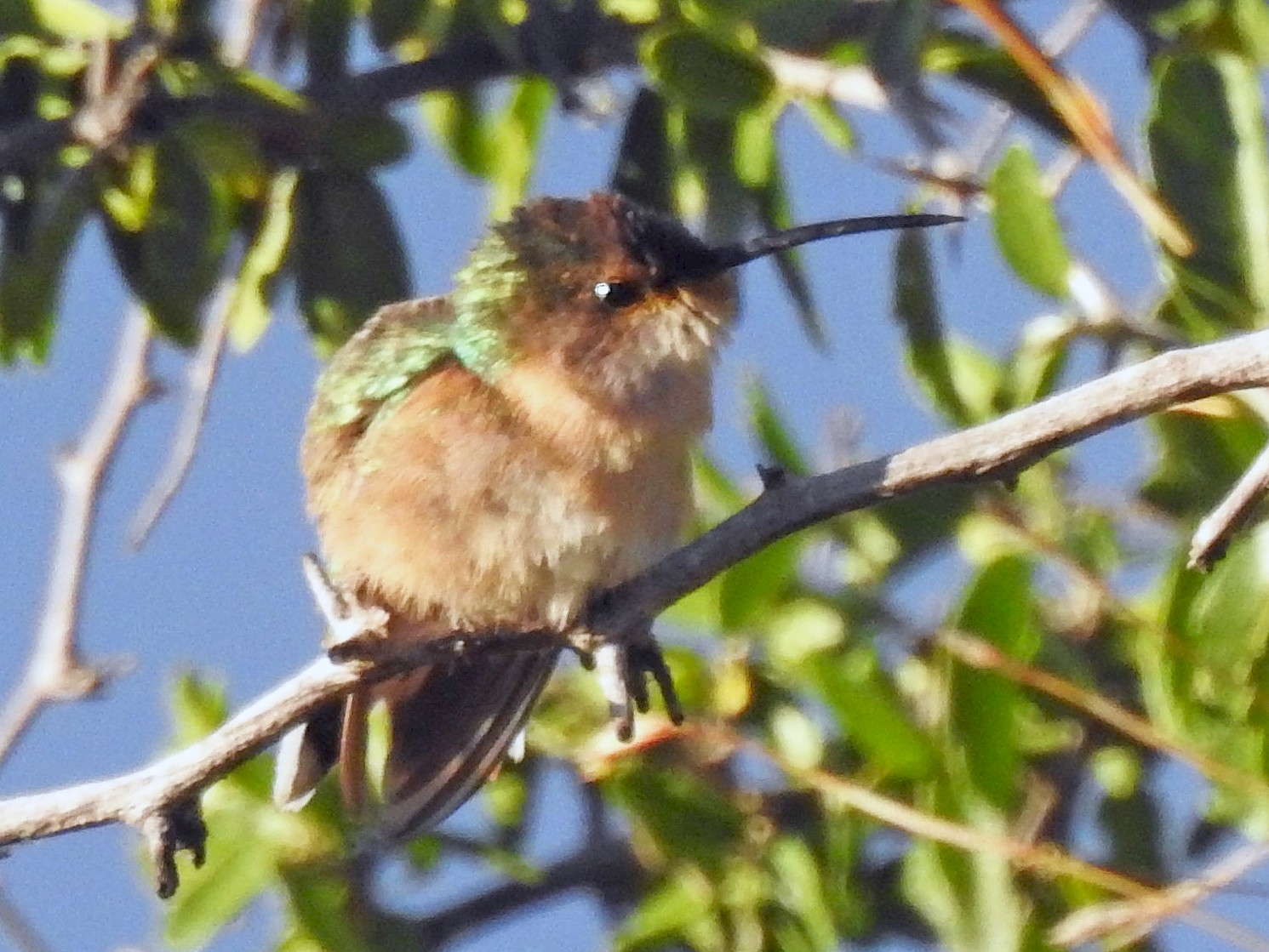Beautiful Hummingbird - Robert Lambeck
