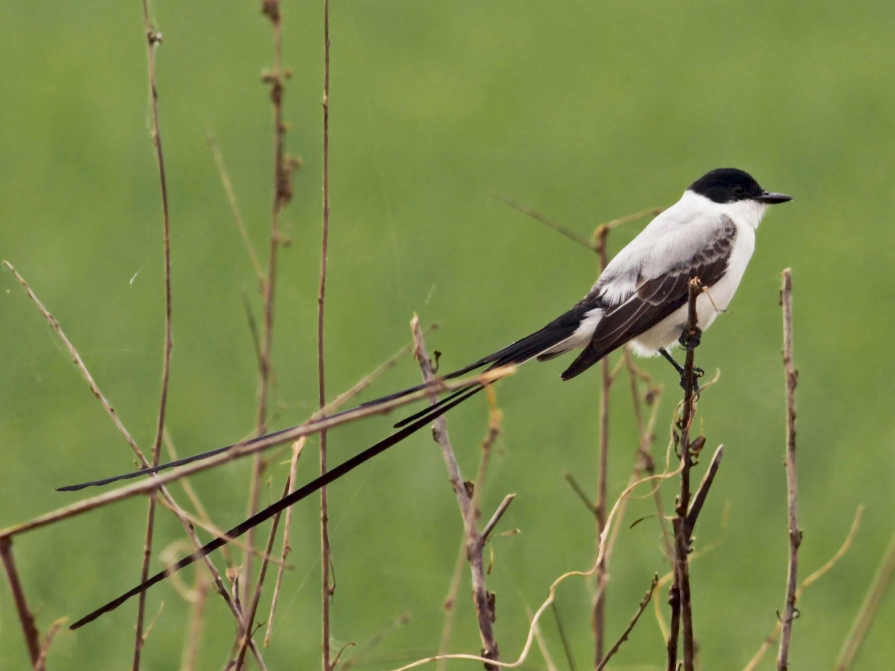 Fork-tailed Flycatcher - Ian Davies