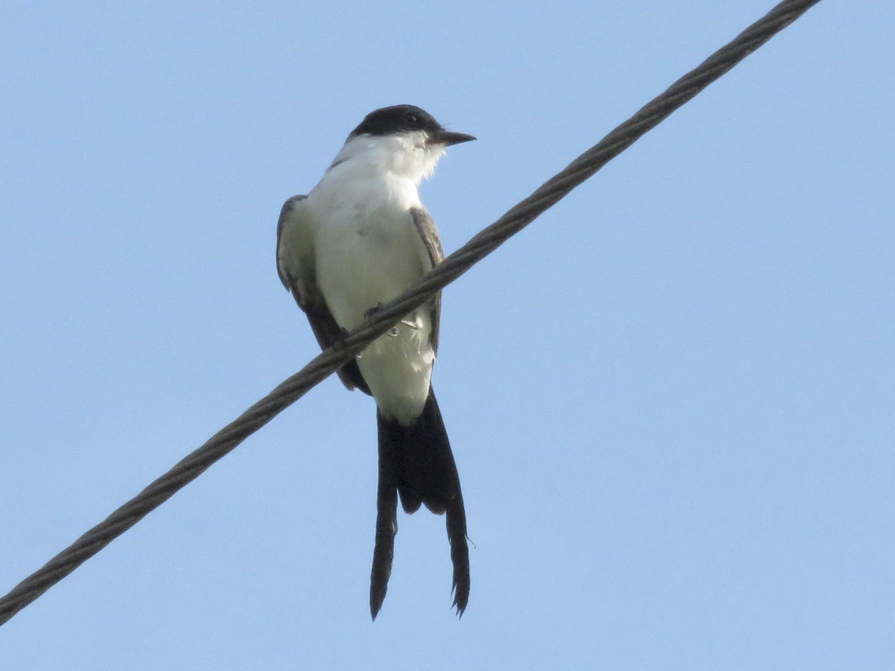 Fork-tailed Flycatcher - Oliver  Komar
