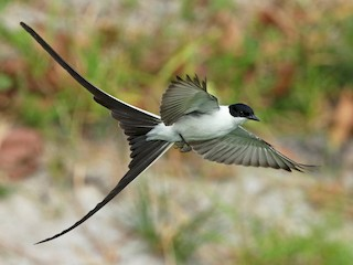 - Fork-tailed Flycatcher