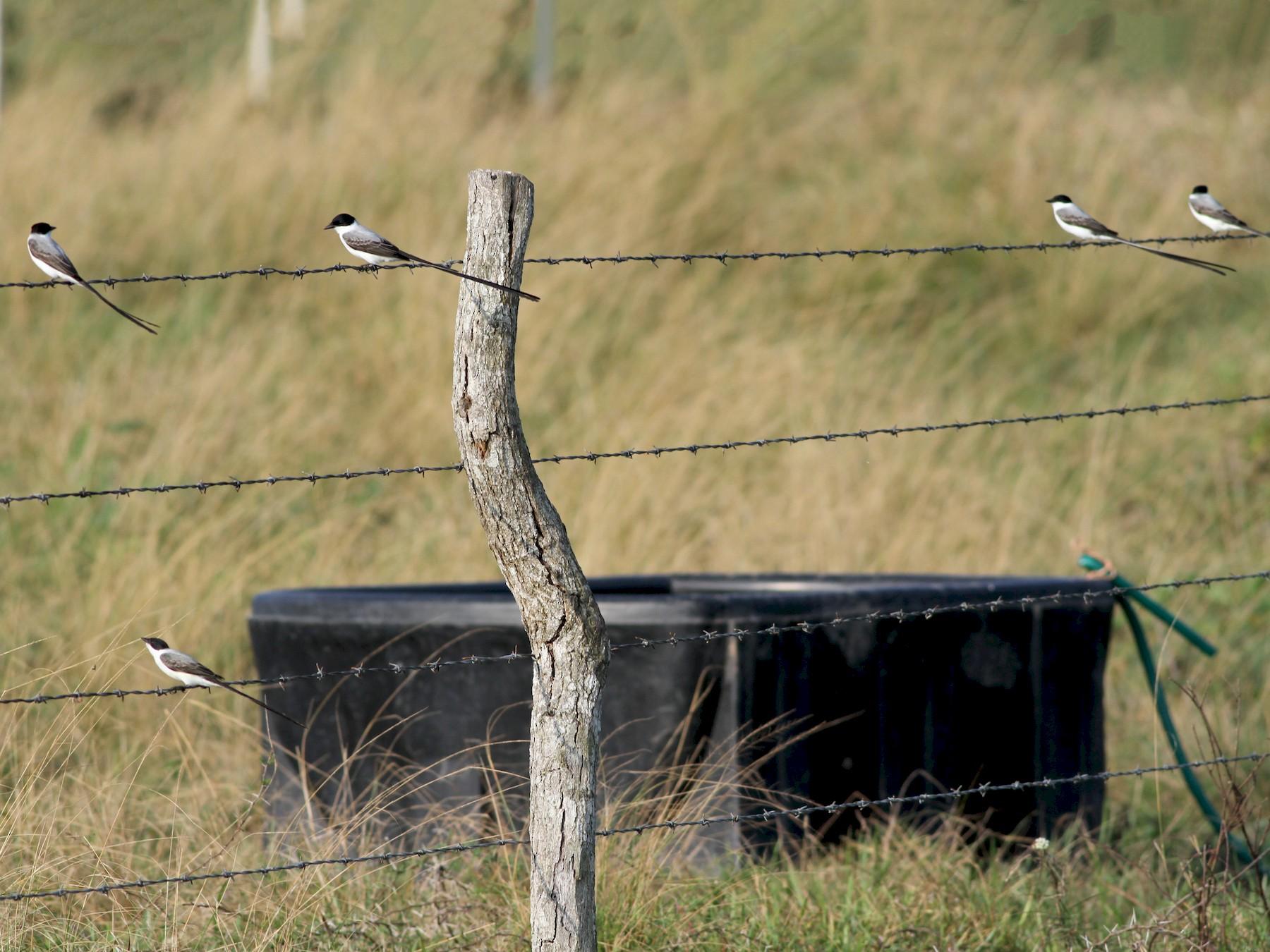 Fork-tailed Flycatcher - John Garrett