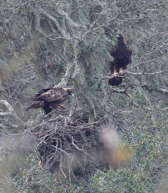 Nest site (California, United States).