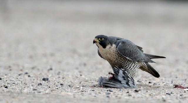 ©Jay McGowan - Peregrine Falcon (North American)