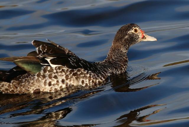 Muscovy Duck (Established Feral)