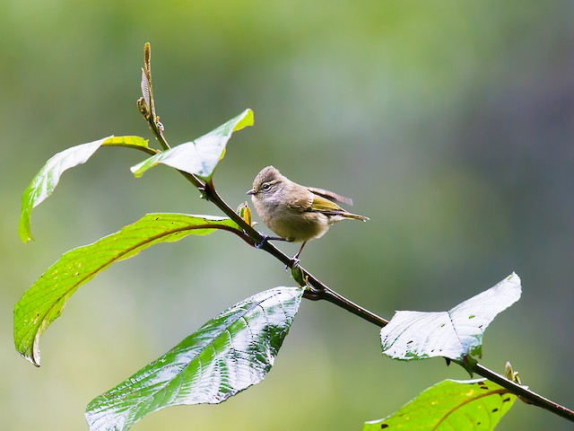 Yellow-browed Tit