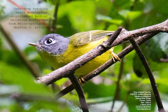 Gray-cheeked Warbler