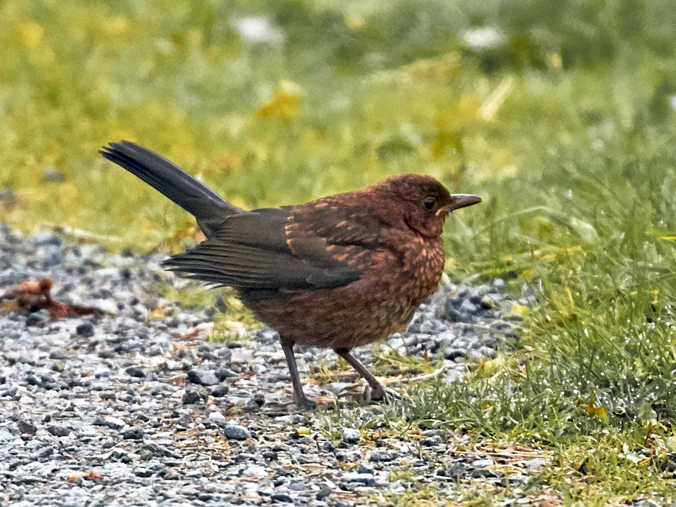 Eurasian Blackbird - Brooke Miller