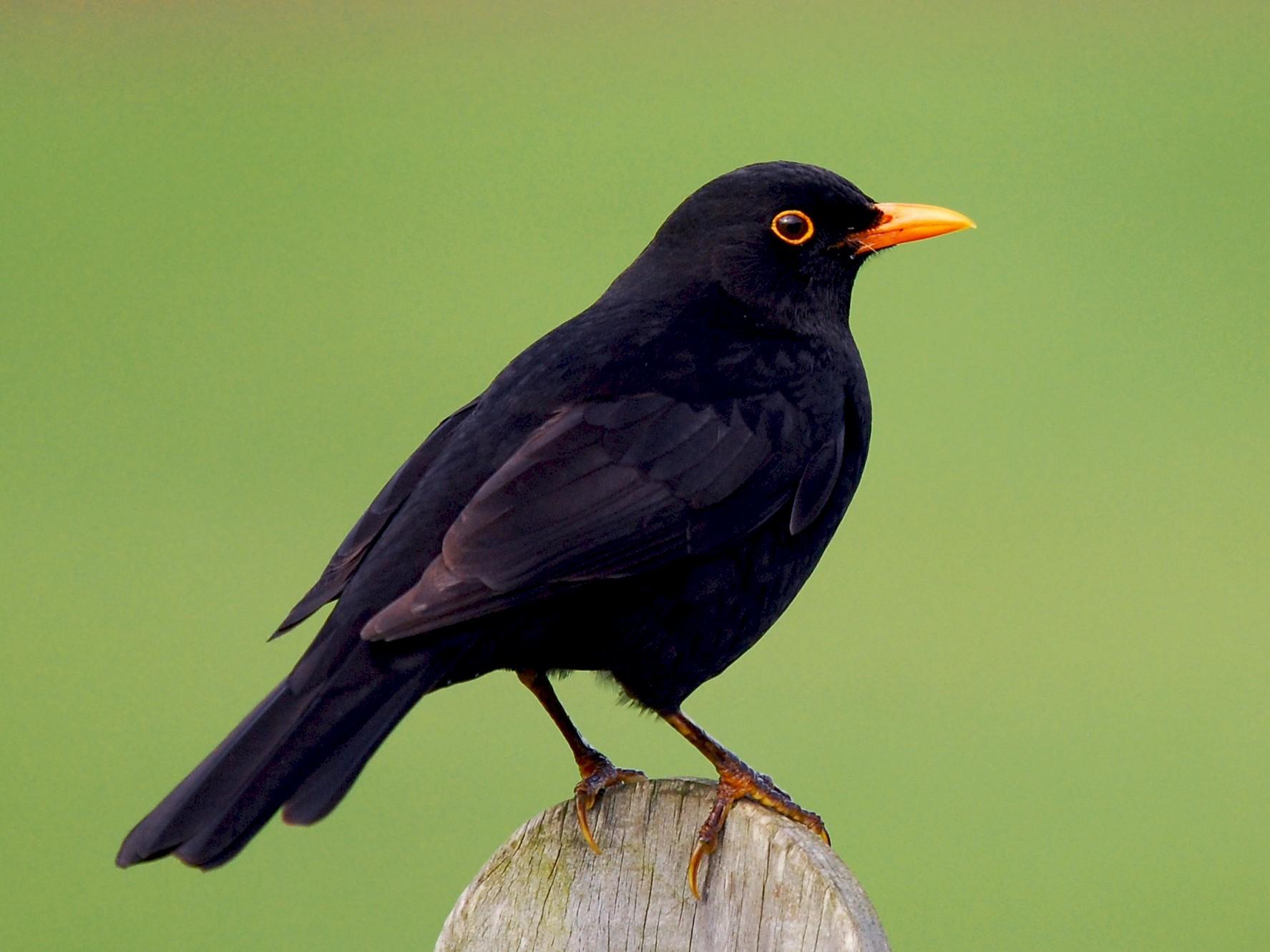 Eurasian Blackbird - eBird