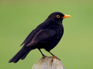 - Eurasian Blackbird