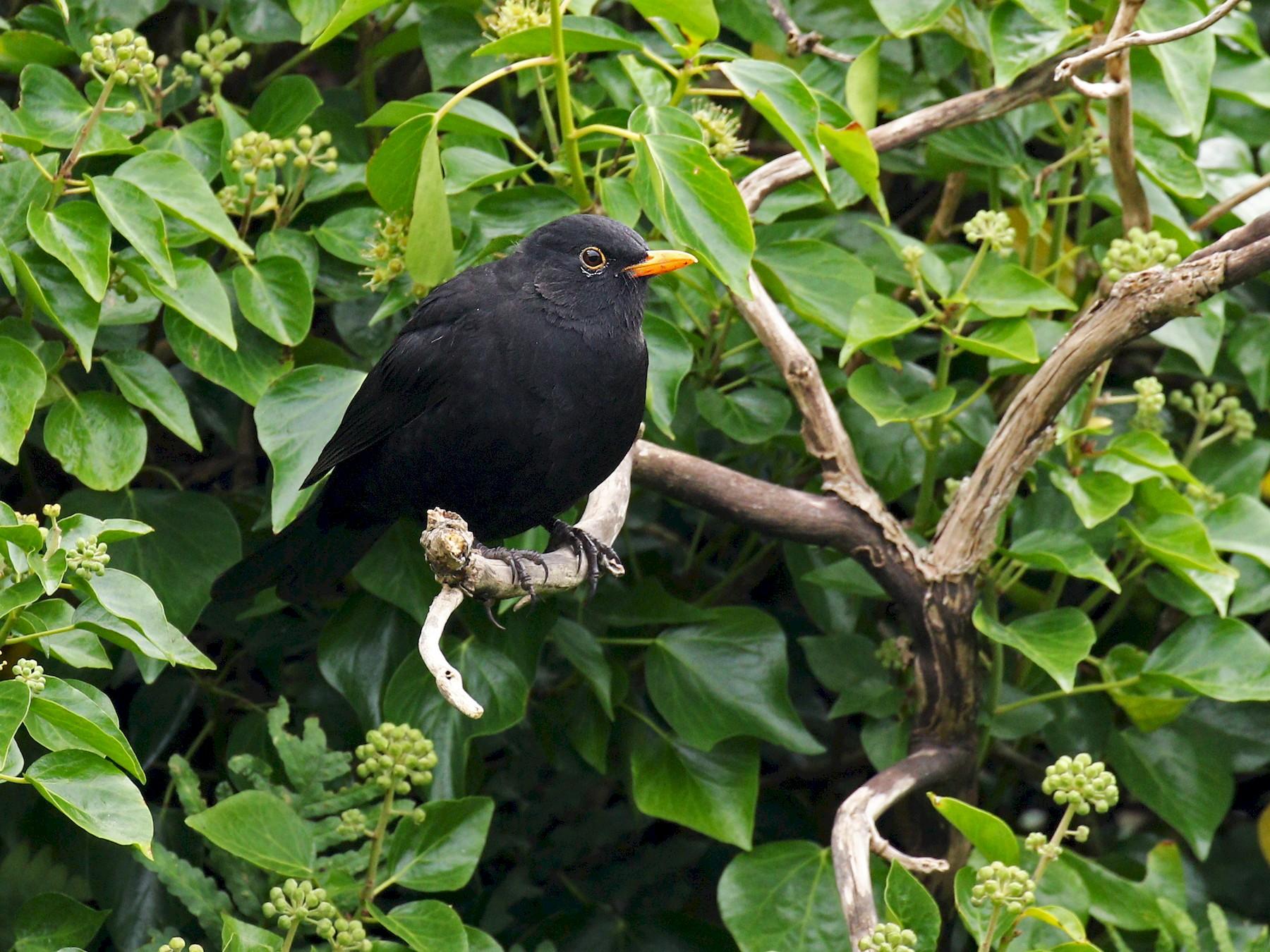 Eurasian Blackbird - Ryan Schain