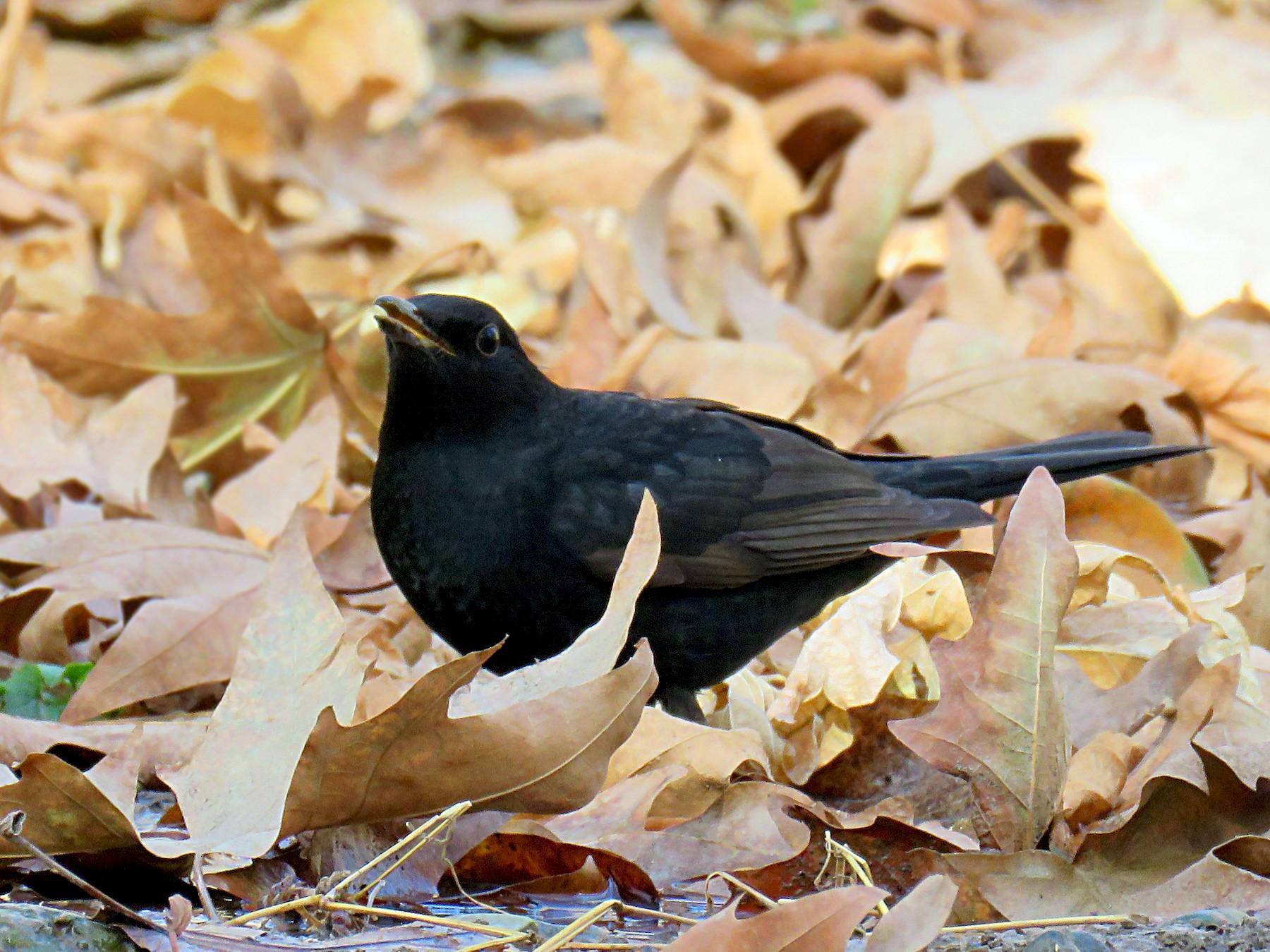 Eurasian Blackbird - Malihe Rajabi