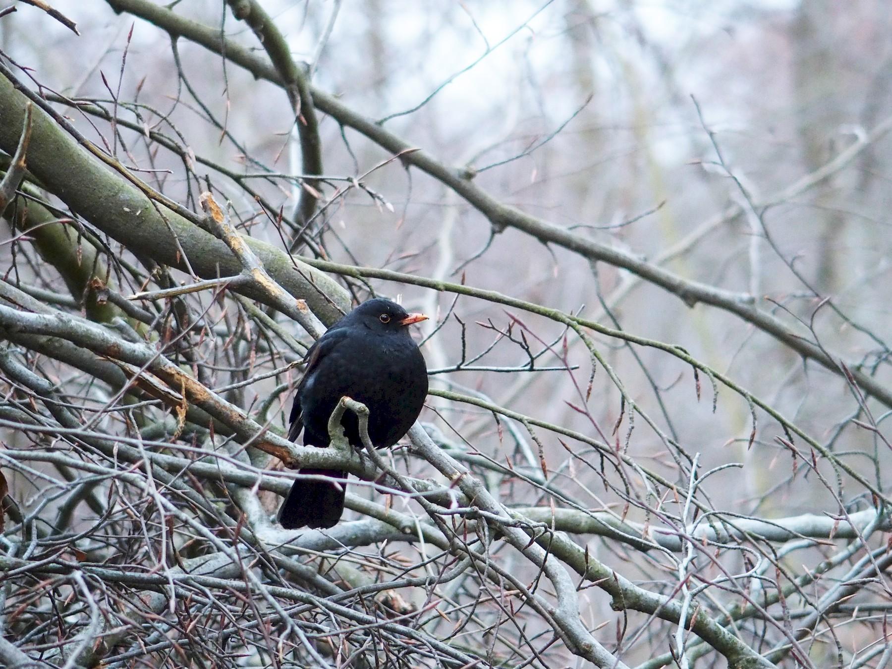 Eurasian Blackbird - Jerome Chie-Jen Ko