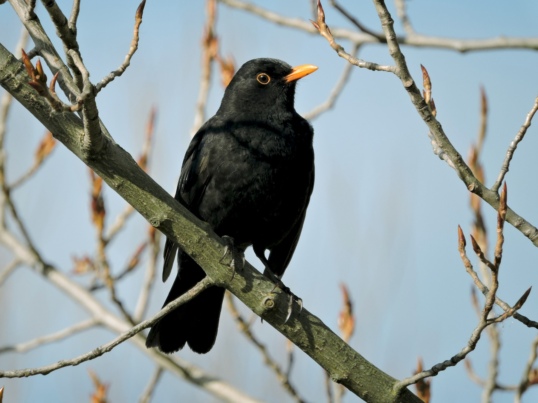 Eurasian Blackbird - Taylor Abbott