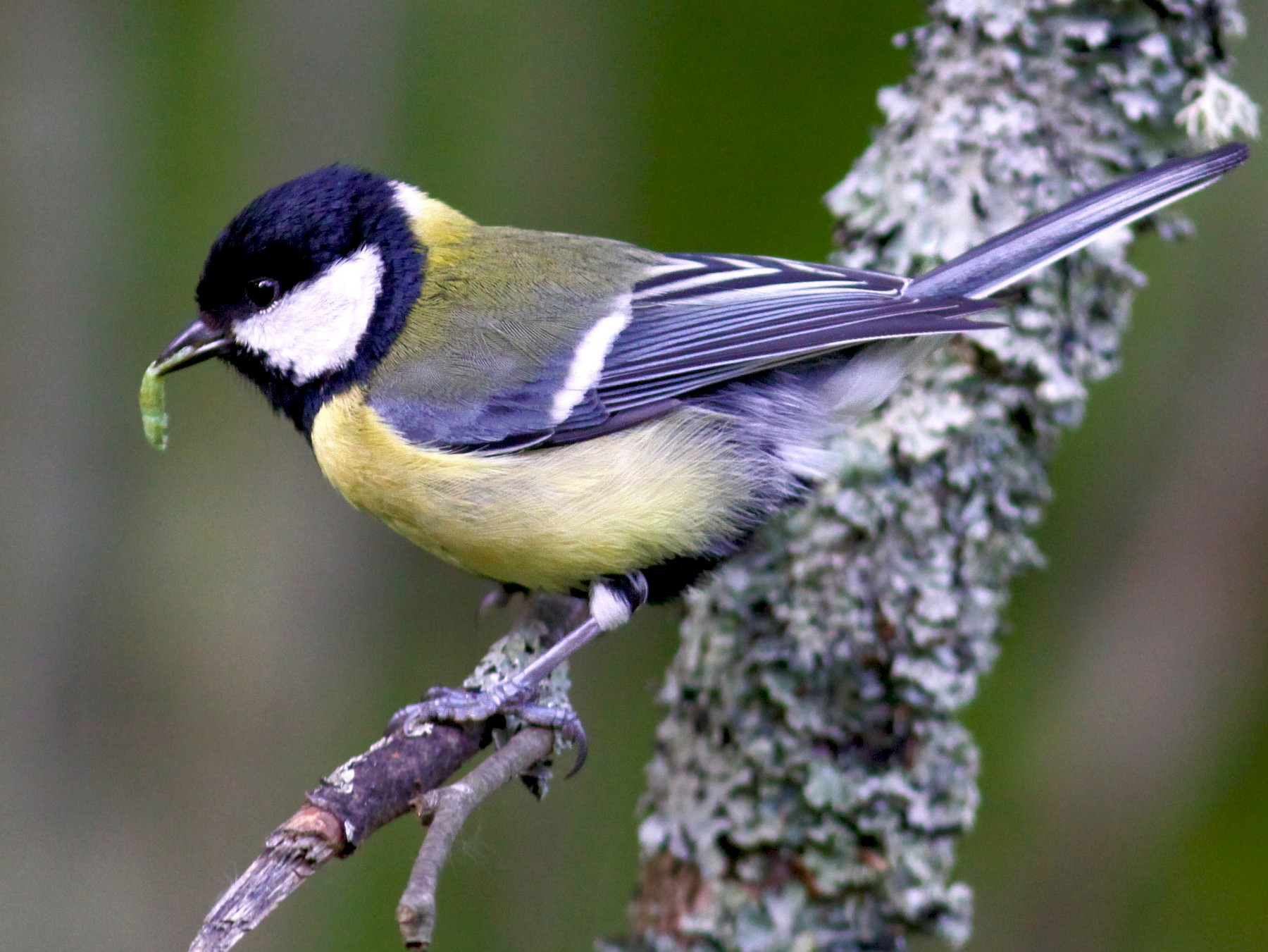 Great Tit - Knut Hansen