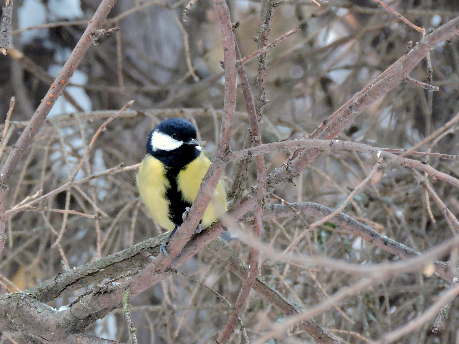 Great Tit - Boris Georgi
