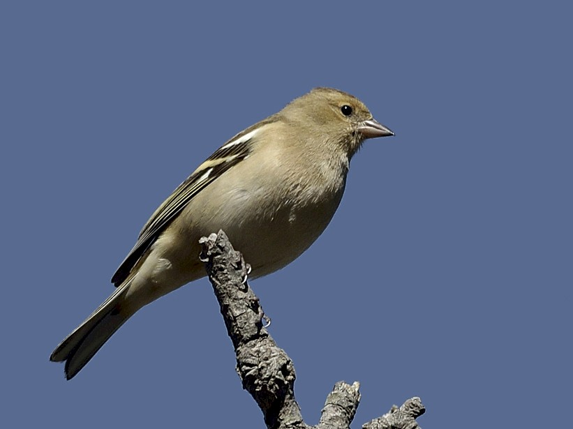 Common Chaffinch - Virag Sharma