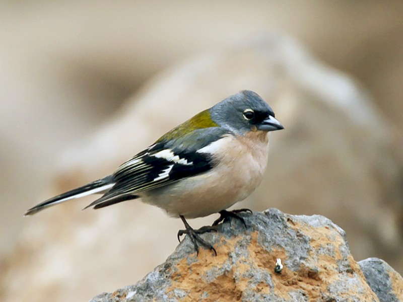 Common Chaffinch - José Ardaiz Ganuza
