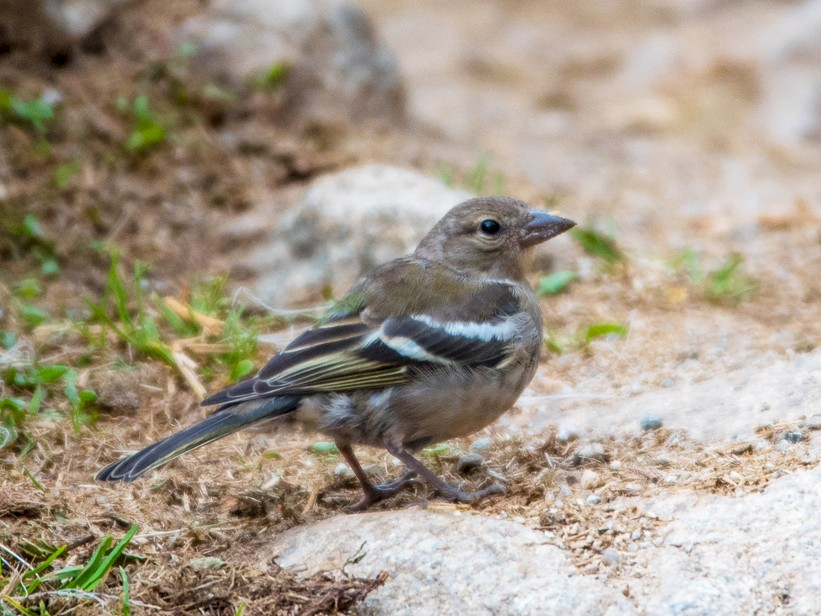 Common Chaffinch - Roberto Dall Agnol