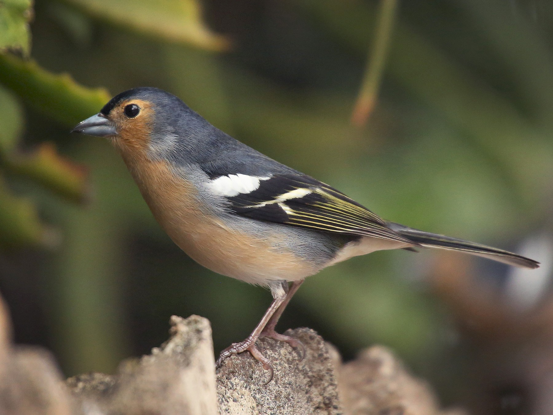 Common Chaffinch - Paul Chapman