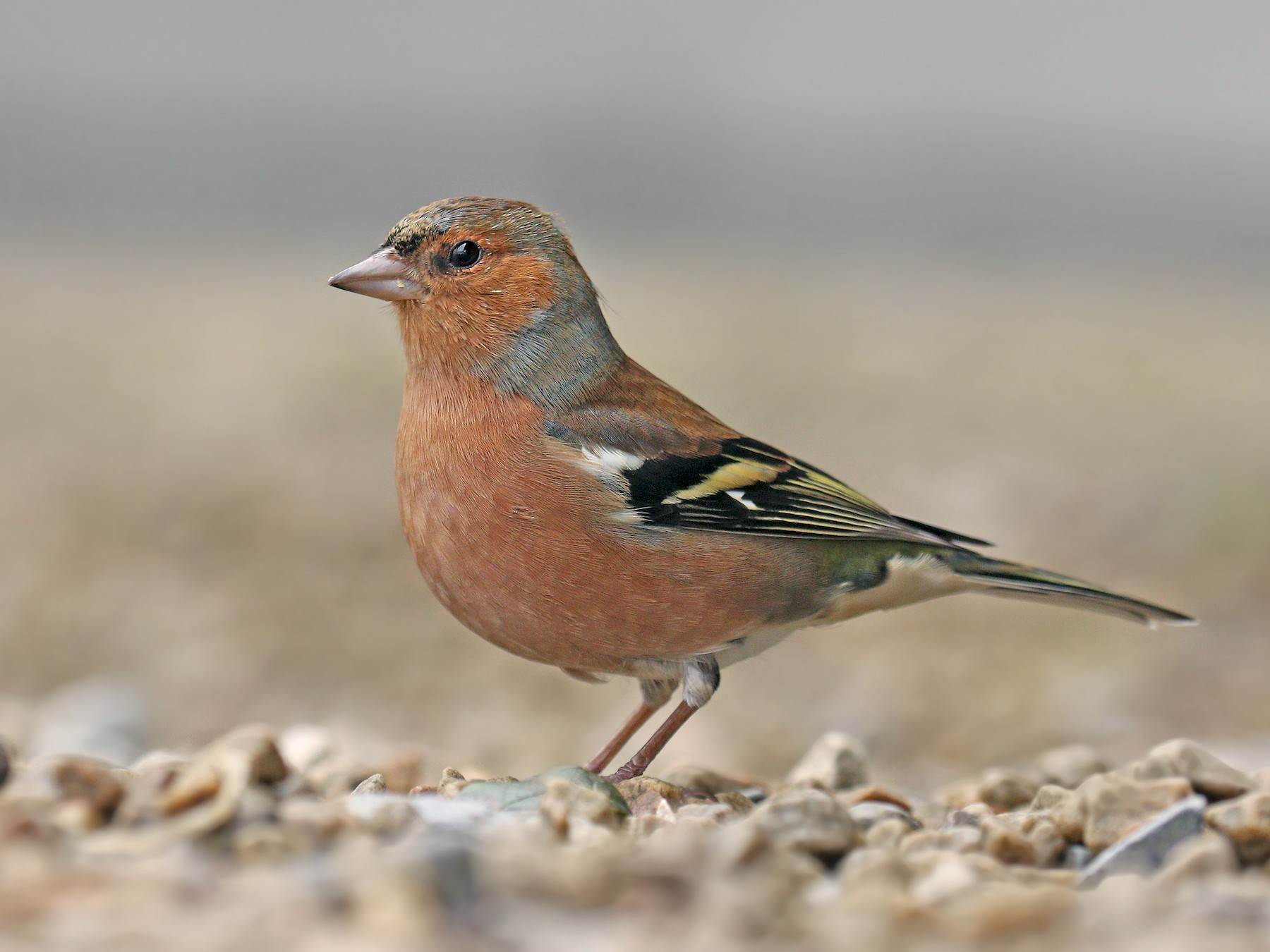 Common Chaffinch - Ryan Schain