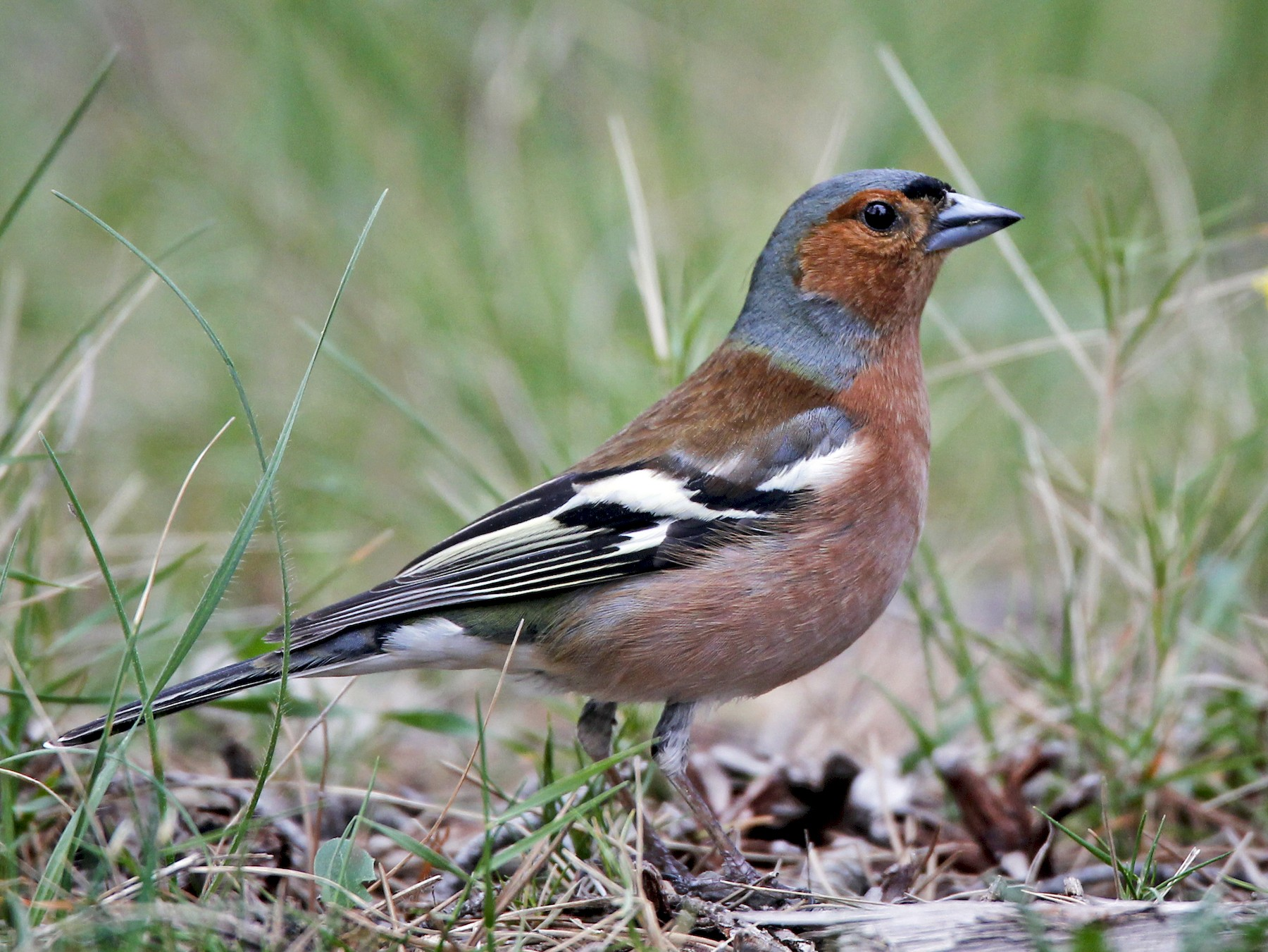 Common Chaffinch - Ian Davies