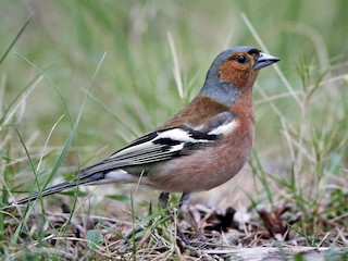 - Common Chaffinch (Common)
