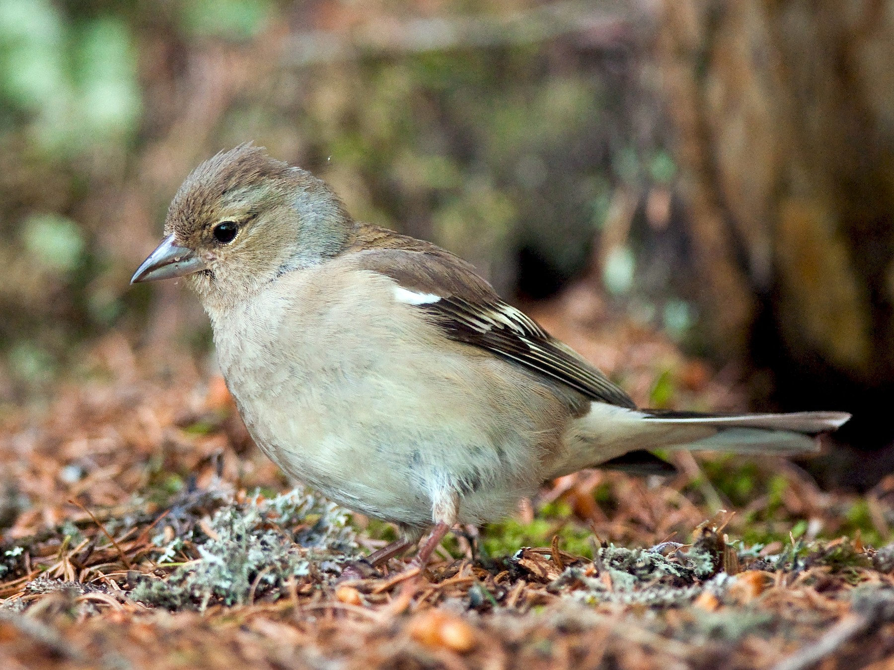 Common Chaffinch - Etienne Artigau