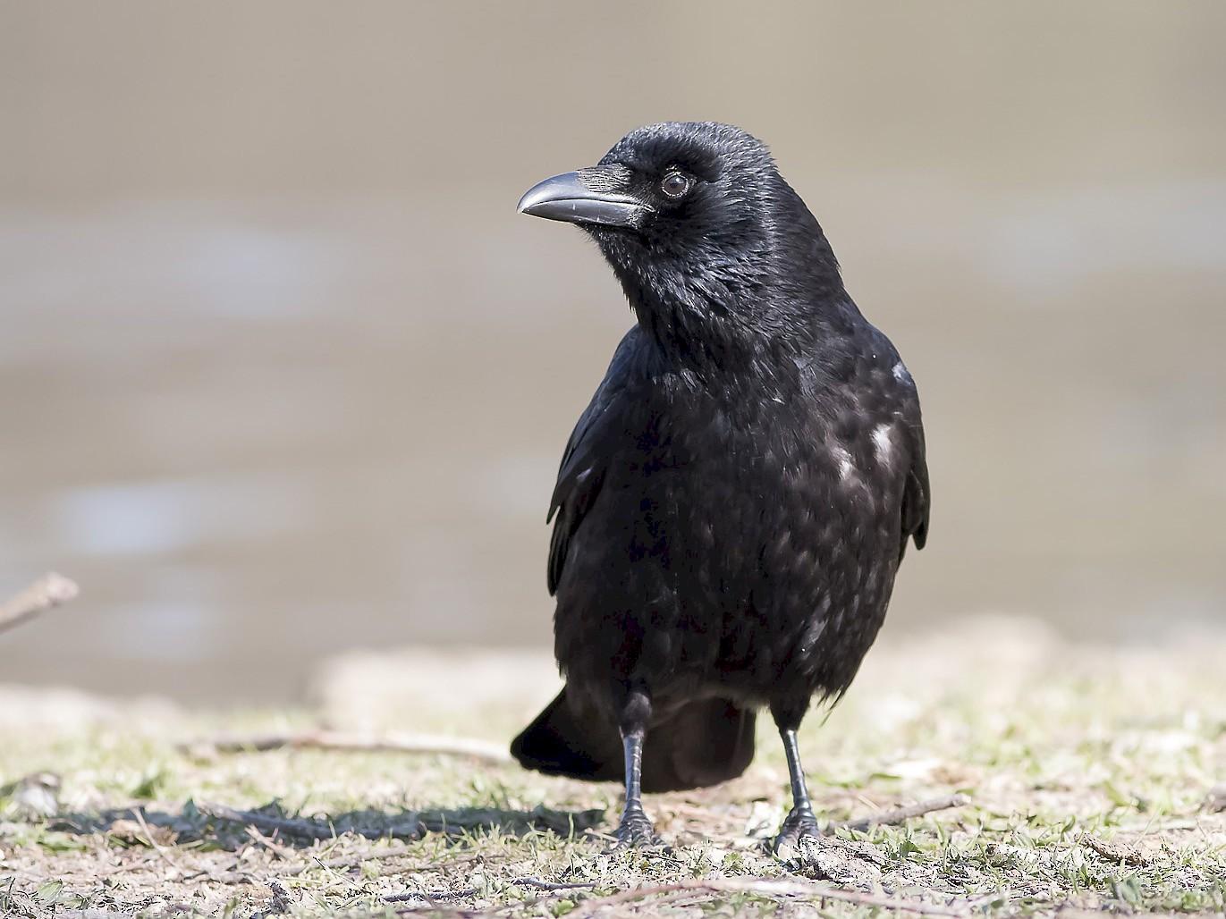 Carrion Crow - Ruud Visser