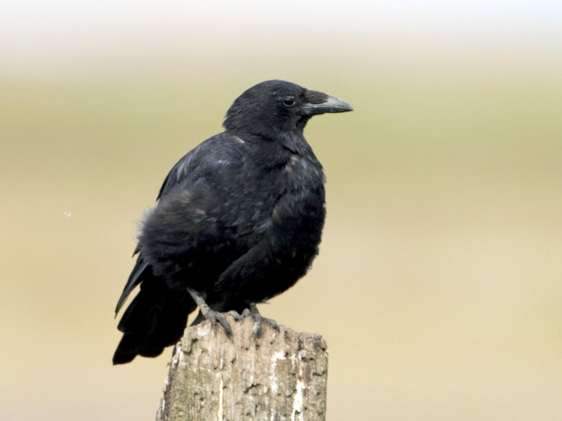 Carrion Crow - Brian Sullivan